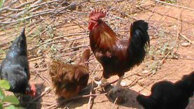 hühnerficker